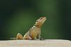 Agror Agama (Laudakia agrorensis) (Zahoor-Salmi) Tags: zahoorsalmi salmi wildlife pakistan wwf nature natural canon birds watch animals bbc flickr google discovery chanals tv lens camera 7d mark 2 beutty photo macro action walpapers bhalwal punjab