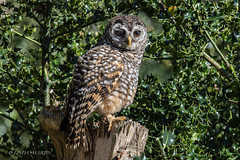 Chaco Owl (Linda Martin Photography) Tags: newforest hampshire owls chacoowl uk strixchacoensis coth ngc