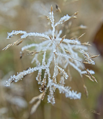 Frosty grass (atranswe) Tags: dsc2751 sweden sverige vsternorrland ngermanland vja lat n625818lon e17427 natur nature grass grsstr bladeofgrass plant frost outdoor ute 4diopter macro atranswe