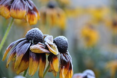 Frosty Rudbeckia (The Garden Smallholder) Tags: rudbeckia frost garden