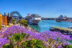 Jacaranda Season (satochappy) Tags: jacaranda spring sydney harbour australia nsw circularquay harbourbridge sydneyoperahouse purple blossoms bloom