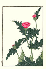 Thistle (Japanese Flower and Bird Art) Tags: flower thistle cirsium asteraceae hoitsu sakai kiitsu suzuki kimei nakano nihonga woodblock picture book japan japanese art readercollection