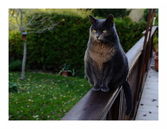 touched by the sun ... (rainbowcave) Tags: moritz cat tomcat katze kater balkon garten geländer railing garden balcony