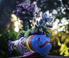 Flying fish (julesnene) Tags: california canon7dmark2 canon7dmarkii euphorbialactea juliasumangil mexicanpot pachyphytumoviferum burrostail fishpot garden julesnene pottery succulent sunset