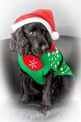 scoob (Jez22) Tags: scooby bracken spaniels cocker springer christmas cute dogs fun canine pet animal doggy festive jumper black liver white looking pedigree indoors copyright jeremysage