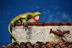 """Day of the Iguana"" (tvdflickr) Tags: puertovallarta mexico puertovallartamexico iguana lobster art colorful building decorations photo by tom driggersa copyright photobytomdriggers thomas driggers photography thomasdriggersphotography"