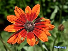 Rudbeckia LOOKS Like Autumn (Vidterry) Tags: rudbeckia