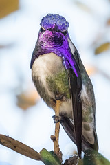 Color me purple (cbjphoto) Tags: bolsachica carljackson costass ecological hummingbird male photography reserve avian bird