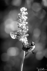 07Oct16-005-Canon EOS 5D Mark III.jpg (JoyVanBuhler) Tags: project365 outdoors insects blackandwhite animals plants purple