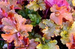 colour (lifecatcher2010) Tags: dsc5874 autumn colour leaves raindrops macro hfg