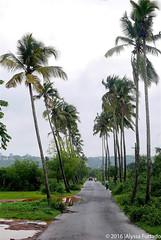 Goan Coconut Trees (alyssafurtado) Tags: coconut trees symmetry la plams ironic india goan road people nature culture