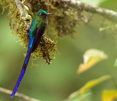 IMG_2378 Violet-tailed Sylph (suebmtl) Tags: bird hummingbird violet violettailedsylph ecuador pichinchaprovince male mindo mindolindo