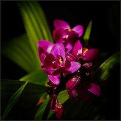 Spathoglottis unguiculata orchid (Nightgoose) Tags: spathoglottisunguiculata orchidaceae orqudeagrapete grapete orqudeacheirodeuva orqudeauva flor flower canoneost5i canonef100mmf28lmacroisusm speedlite600ex orchid