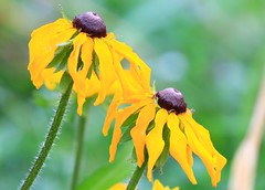 black-eyed Susans at Seed Saver's Exchange IA 854A7985 (lreis_naturalist) Tags: blackeyed susan wildflowers seed savers exchange winneshiek county iowa larry reis
