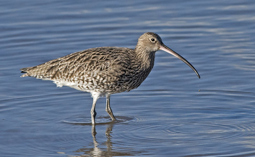 _DSC6409....CURLEW (with droplet)