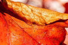 Farben des Abschieds    [Explored] (fotomanni.de) Tags: blatt gelb herbst laub makro rot garten gerdalasgärtla gärten