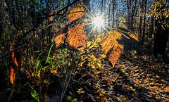 A Light In The Forest (Wes Iversen) Tags: clichesaturday grandblanc grandblanccommons hcs michigan nikkor24120mm autumn autumncolor leaves nature sunflares trails trees woods