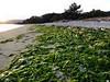 Algas (juantiagues) Tags: algas arena playa lourido poio juantiagues juanmejuto
