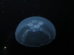 IMG_4393 (adrienweckel) Tags: aurã©lie aureliaaurita cnidaires