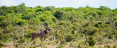 DSC02638.jpg (ChrMous) Tags: tamronsp150600mmf563 southafrica grotekoedoe zuidafrika zoogdieren sonyslta99 animals 2016 easterncape addoelephantnationalpark greaterkudu tragelaphusstrepsiceros