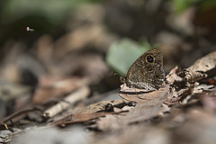 / Ypthima okurai (Okano, 1962) (Sam's Photography Life) Tags:  ypthima okurai         1dx 100mm butterfly insect