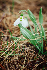 The first snowdrops in spring (ddanilejko) Tags: rain leaves wet snowdrop vibrant green tiny white germinate petal flower horizontal blossom bloom awake wildflower springtime fragility macro season small protection color growth plant ukraine overcast outdoors first dew nature drops botany freshness nonurban closeup redbook fallenleaves