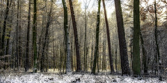 A forest landscape in winter. (stray_light_rays) Tags: tranqulity wilderness nature landscape trees forest woods snow frost cold weather seasons wallpaper forestphotography forests parallellines lines scenery scenics scene serene calm secluded wide panorama beautiful beautyinnature season