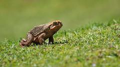 Sapo (Fabian Ribeiro Fotografias) Tags: sampo campo golfe sapo