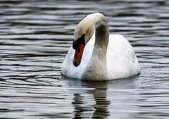 Mute Swan (1) (grahamh1651) Tags: helstonboatinglake birds gulls ducks geese waterbirds swans