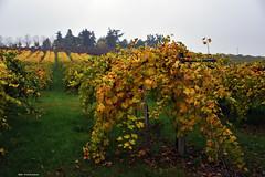 Colori d'Autunno (Paolo Bonassin) Tags: autumn coloridautunno autumnleaves vigneti vineyards filari rows zolapredosa zolapredosaviaraibolinidettoilfrancia italy emiliaromagna