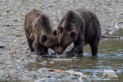 Feeding Grizzlies (fascinationwildlife) Tags: animal mammal wild wildlife nature natur grizzly bear predator cub juvenile sow female brown bär braunbär british columbia bc kanada canada salmon chum river fall autumn catch
