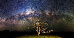 Milky Way and a Gnarly Tree - Cataby, Western Australia (inefekt69) Tags: panorama stitched mosaic msice milky way cosmology southernhemisphere cosmos westernaustralia australia dslr long exposure rural nightphotography nikon stars astronomy space galaxy astrophotography outdoor milkyway core great rift ancient sky 35mm d5100 landscape cataby lake dead tree gnarly landscapeastrophotography lone explore explored