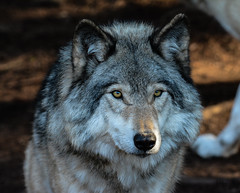 Timber Wolf, Gray Wolf, Loup Gris,  Loup des Bois, Canis Lupus, Lobo (Guy Lacroix) Tags: timberwolf graywolf loupgris loupdesbois canislupus lobo guylacroixflickr greywolf wolf parcoméga montebello québec canada theroyalcanadiangeographicalsociety mammal predator prédateur mammifère loup animal nekra bighana hurar yitiaolang vuk vlk ulv hunt susi wulf lupo ookami vilks wilk lup bolk wolk kurt blaidd dib tamronsp150600mm nikond7100 guylacroixphotography