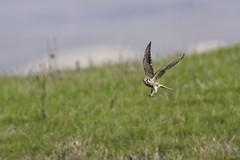 Success! (lennycarl08) Tags: pointreyesnationalseashore pointreyes northerncalifornia wildlife americankestrel falcon birdofprey