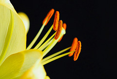 Lily (PrunellaCara) Tags: macro closeup lily flower yellow orange stamens blackbackground nature