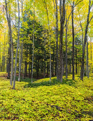 Shades of Green (Kevin Pihlaja) Tags: keweenaw upperpeninsula michigan foliage trees leaves autumn fall fallcolors nature landscape mapleleaves forest