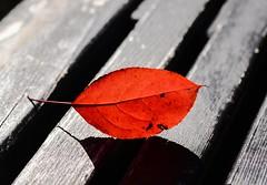 Red leaf backlight (vinnie saxon) Tags: leaf autumn fall red backlight park nature nikoniste nikon d600