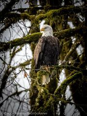 Skagit River Eagles-5 (Chuck Ramsey) Tags: birds eagle skagitriver washington