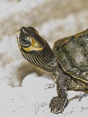 Eye of the turtle (shlrn756) Tags: eye turtle closeup macro pet nikon weekend photo love hard top soft inside baby newmate aquarium