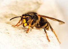 Nice face (Tom Dalhoy) Tags: ifttt 500pxrtg 500px wasp insect yellow closeup wildlife macro insects flower flowers wood bee wings hurt sting hornet nectar pollen pollinator predator canon 100 mm 7d mk ii