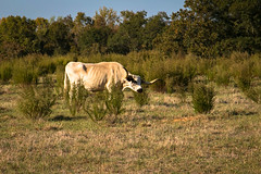 Longhorn cow - Townville S.C. (DT's Photo Site) Tags: farm rural cattle cow pasture country roads andersonsc canon 6d 24105mml upstate south carolina townville landscape vanishing america farming