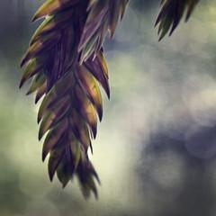 Chasmanthium latifolium (Anne Worner) Tags: anneworner chasmanthiumlatifolium em5 macromondays poaceae arrow backlight closeup clumpforming filter grassfamily hanging inlandseaoats layers macro olympus perennial texture uniolalatifolia uplandseaoats