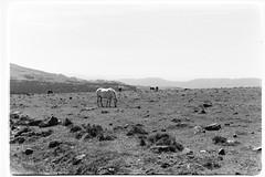 Freedom (davidgarciadorado) Tags: kodak tmax olympusom horses hosrizons galicia spain blackandwhite bw