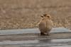House Sparrow / Huismus (Passer domesticus) (Levina de Ruijter) Tags: amsterdam birds animals canon nederland thenetherlands vogels canon5d housesparrow dieren huismus kenko14xtc canonef300mmf4lisusm