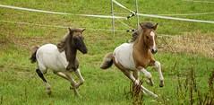 Fohlen (lbtuda) Tags: horse pferd icelandic foal islnder