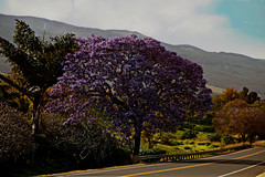 Up Country Maui (byronfairphotography) Tags: hawaii maui roadside upcountry jacarandatree