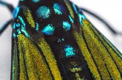 Belemnia inaurata (detail) - Cayo District, Belize (Thomas Shahan 3) Tags: macro pentax thomas belize science class workshop entomology macrophotography shahan 2015 bugshot