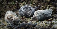 Farne Seals (lilypops1) Tags: seal seals norhumberland farenislands janetmiles