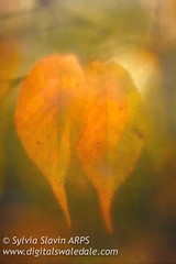 Side by Side (Sylvia Slavin ARPS (woodelf)) Tags: autumn trees light two fall texture leaves lensbaby october glow colours pair velvet backlighting