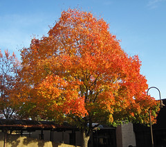 Acer saccharum (sugar maple tree in fall colors) (Newark campus of Ohio State University, Newark, Ohio, USA) (21 October 2015) 3 (James St. John) Tags: autumn trees color tree fall colors maple sugar acer saccharum